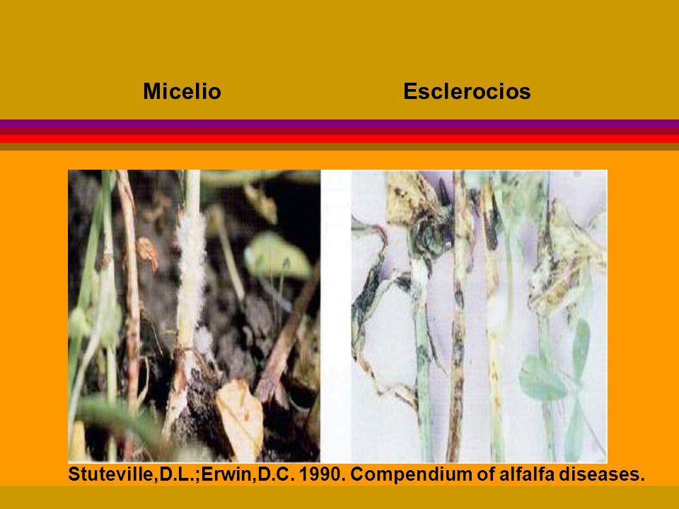 Micelio Esclerocios Stuteville,D.L.;Erwin,D.C. 1990. Compendium of alfalfa diseases.