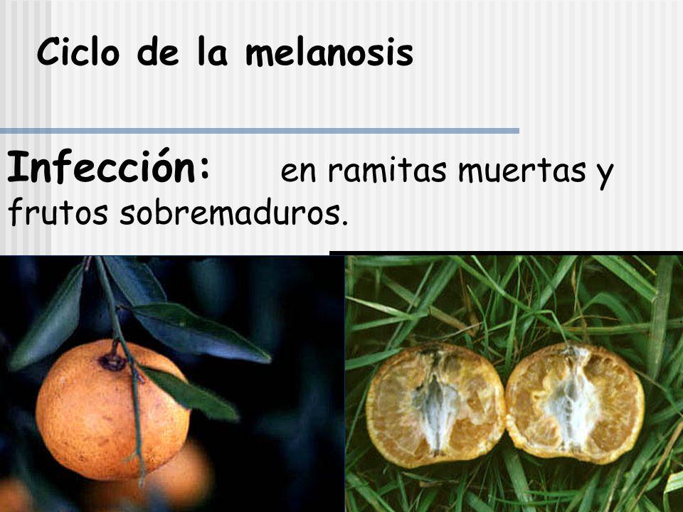 Infección: en ramitas muertas y frutos sobremaduros.