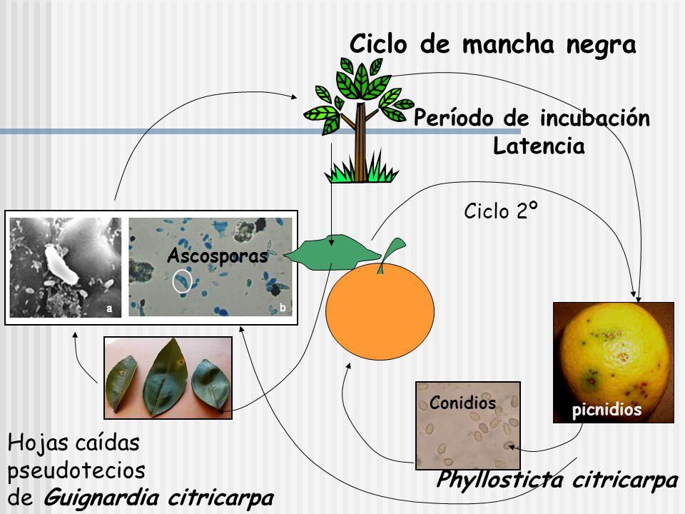 Ciclo de mancha negra Período de incubación Latencia Hojas caídas