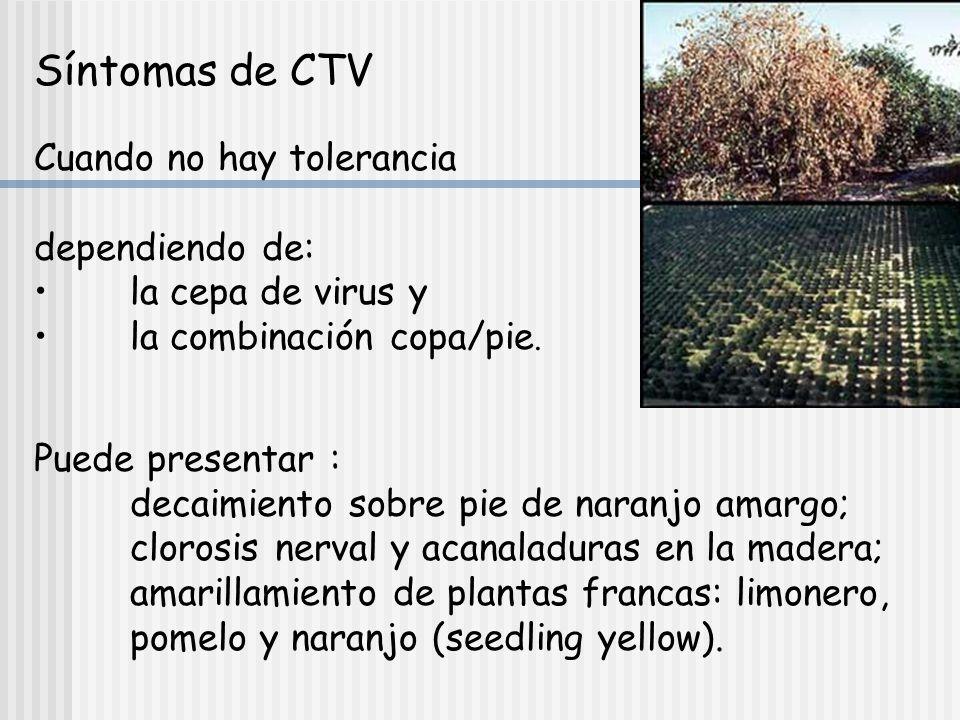 Síntomas de CTV Cuando no hay tolerancia dependiendo de: