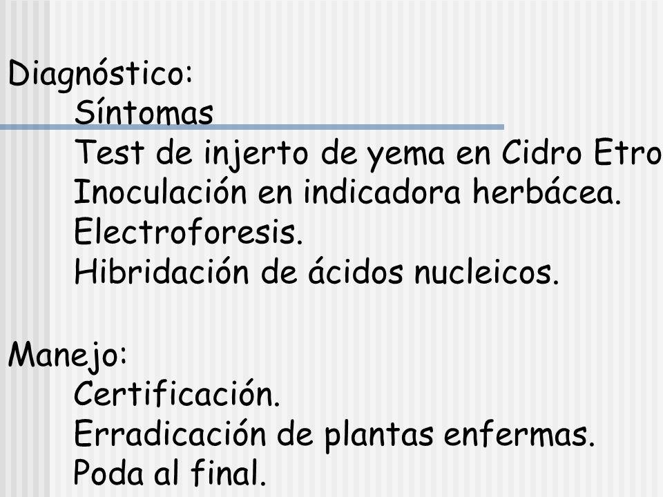 Diagnóstico: Síntomas. Test de injerto de yema en Cidro Etrog. Inoculación en indicadora herbácea.