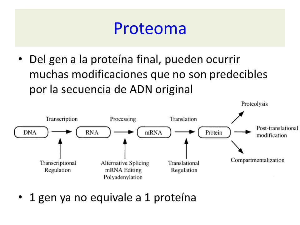 Proteoma Del gen a la proteína final, pueden ocurrir muchas modificaciones que no son predecibles por la secuencia de ADN original.