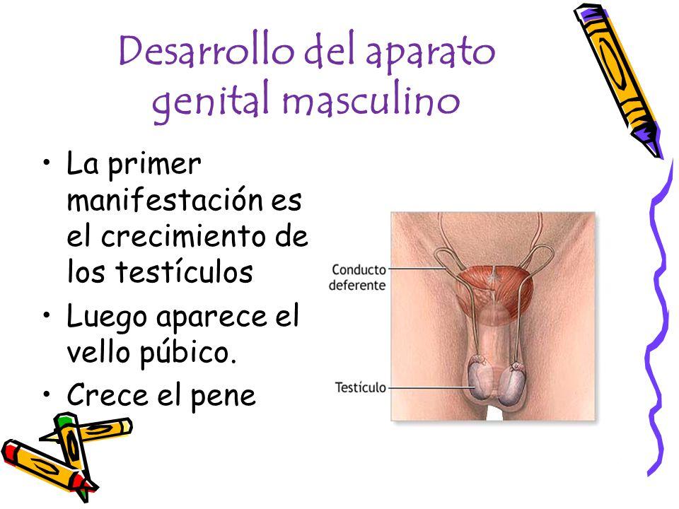 Desarrollo del aparato genital masculino