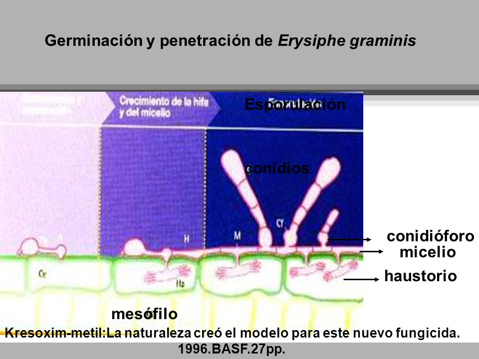 Germinación y penetración de Erysiphe graminis
