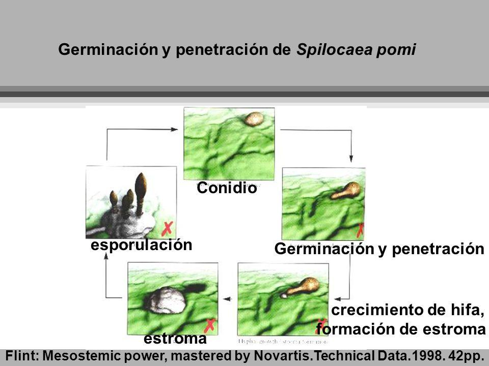Germinación y penetración de Spilocaea pomi Germinación y penetración