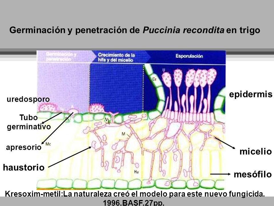 Germinación y penetración de Puccinia recondita en trigo