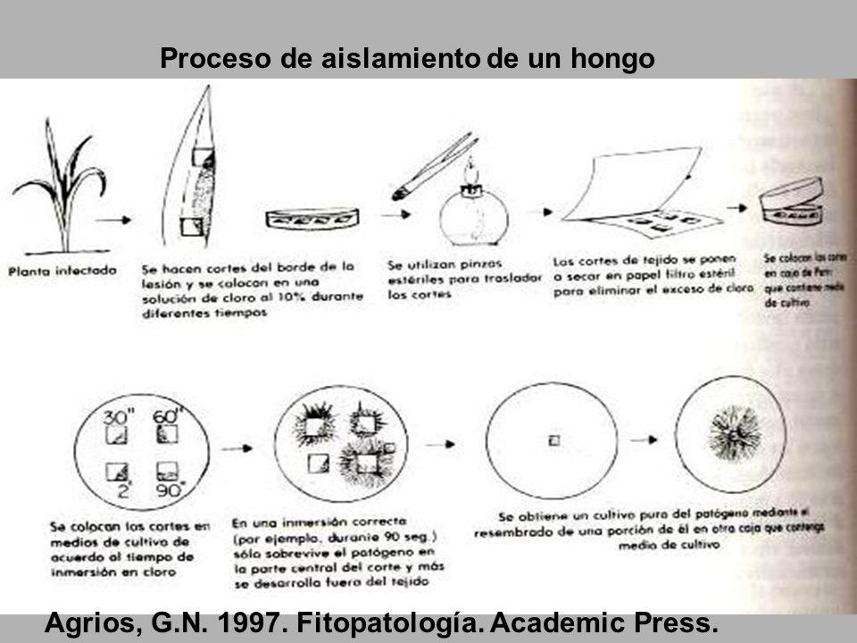 Proceso de aislamiento de un hongo