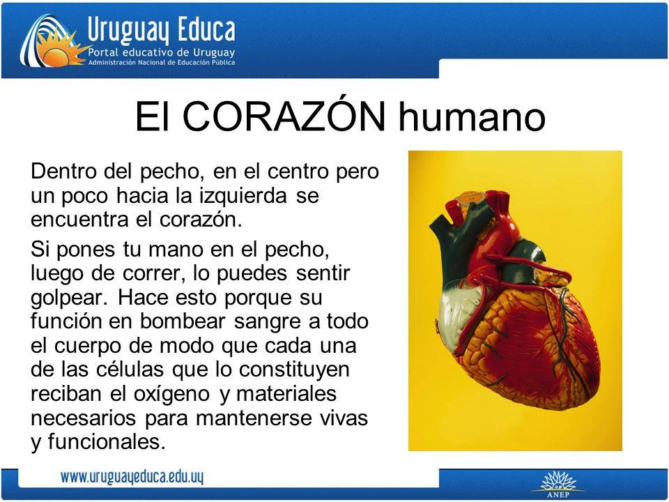 El CORAZÓN humano Dentro del pecho, en el centro pero un poco hacia la izquierda se encuentra el corazón.