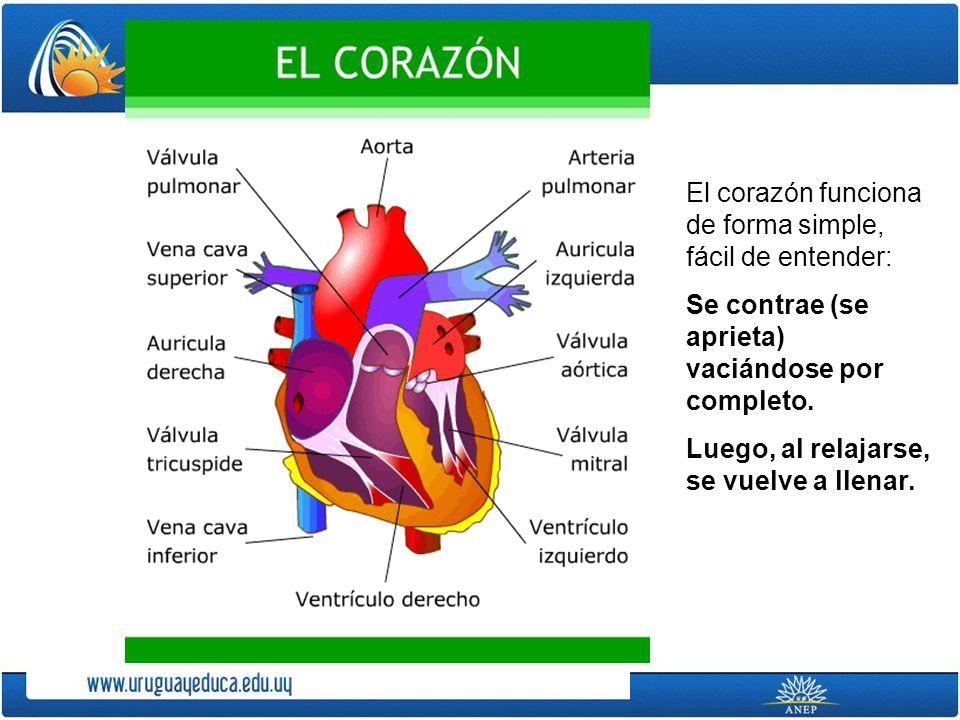 El corazón funciona de forma simple, fácil de entender: