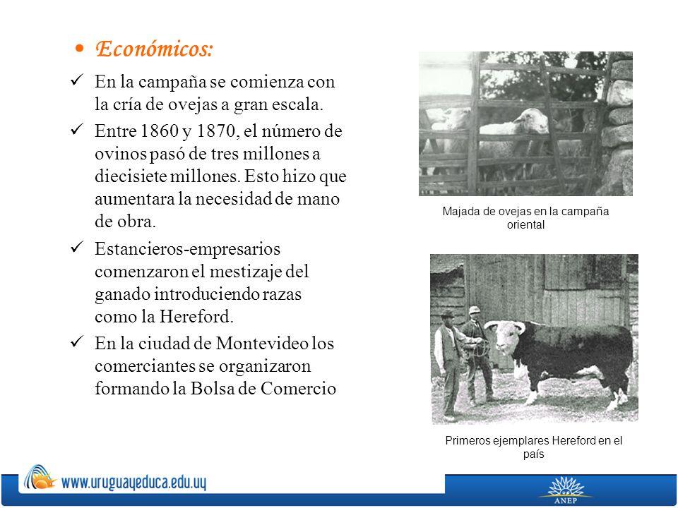 Económicos: En la campaña se comienza con la cría de ovejas a gran escala.