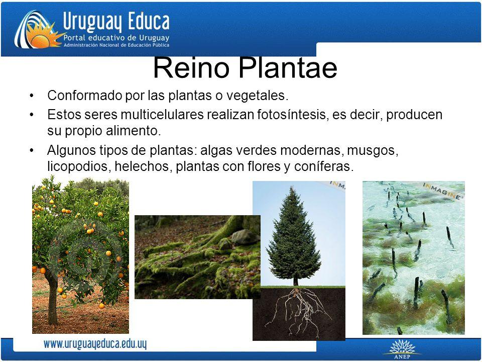 Reino Plantae Conformado por las plantas o vegetales.