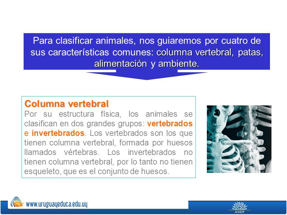 Para clasificar animales, nos guiaremos por cuatro de sus características comunes: columna vertebral, patas, alimentación y ambiente.