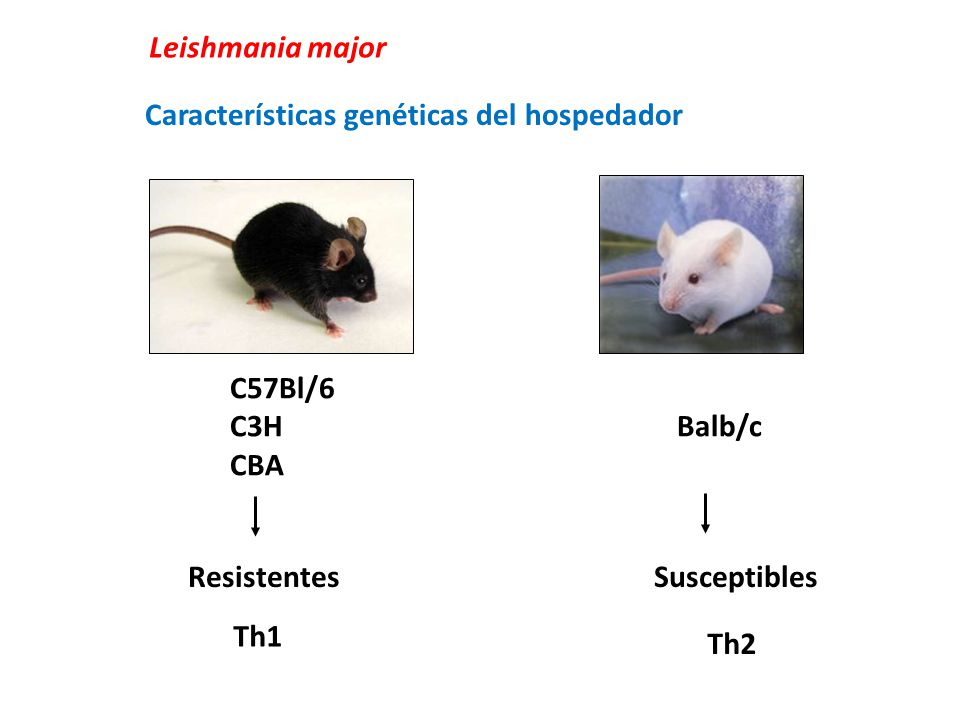 Leishmania major Características genéticas del hospedador. C57Bl/6. C3H Balb/c.