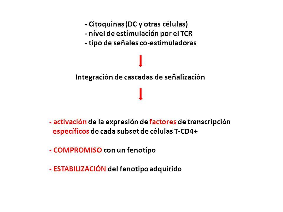 - Citoquinas (DC y otras células) - nivel de estimulación por el TCR