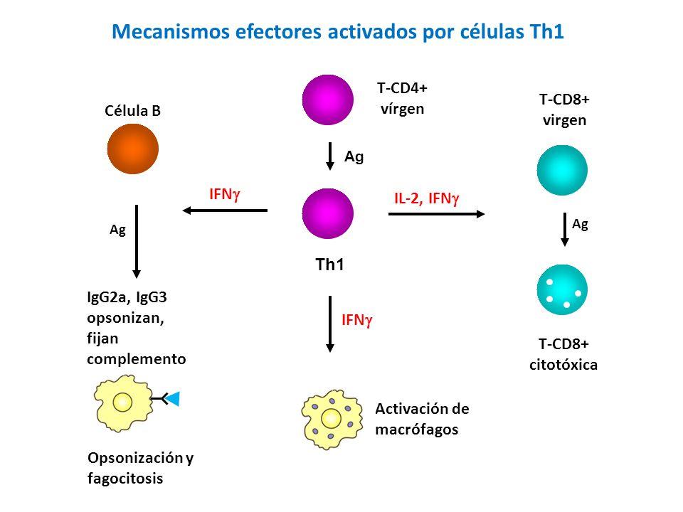 Mecanismos efectores activados por células Th1