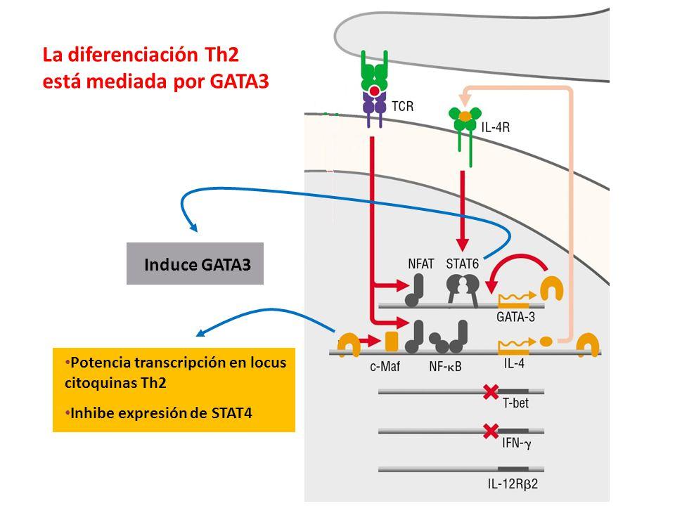 La diferenciación Th2 está mediada por GATA3 Induce GATA3