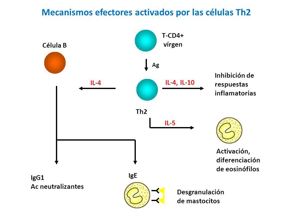Mecanismos efectores activados por las células Th2