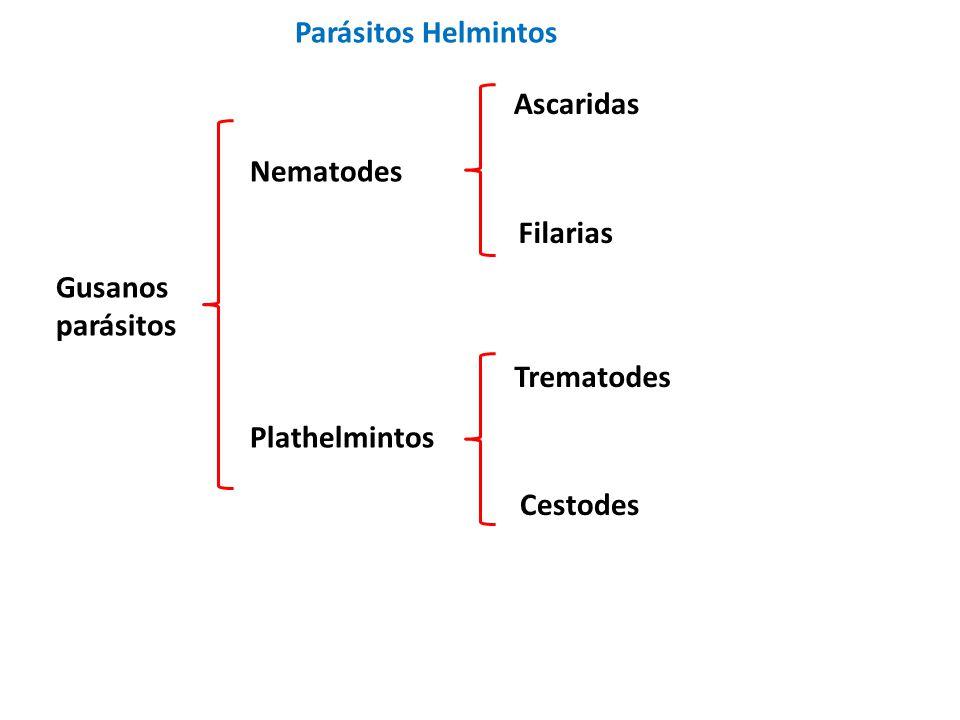 Parásitos Helmintos Ascaridas. Nematodes. Filarias. Gusanos. parásitos. Trematodes. Plathelmintos.