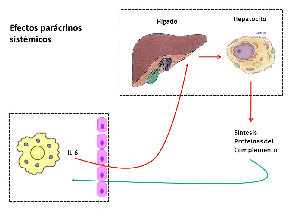 Efectos parácrinos sistémicos Hepatocito Hígado Síntesis Proteínas del