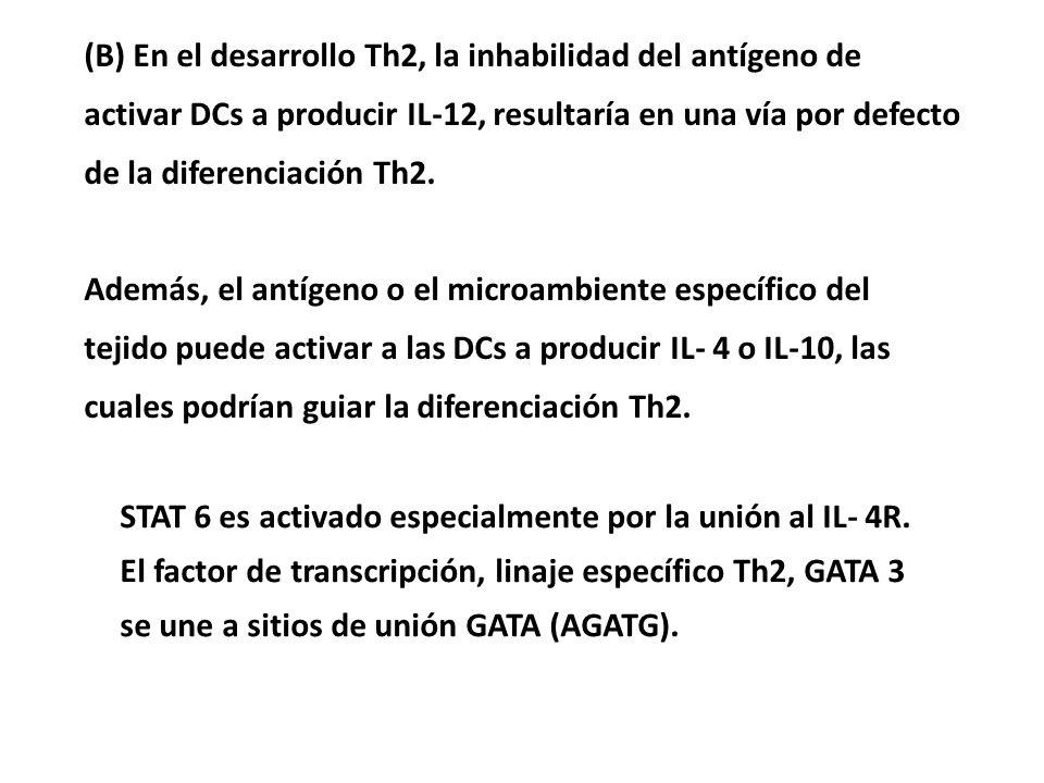 (B) En el desarrollo Th2, la inhabilidad del antígeno de