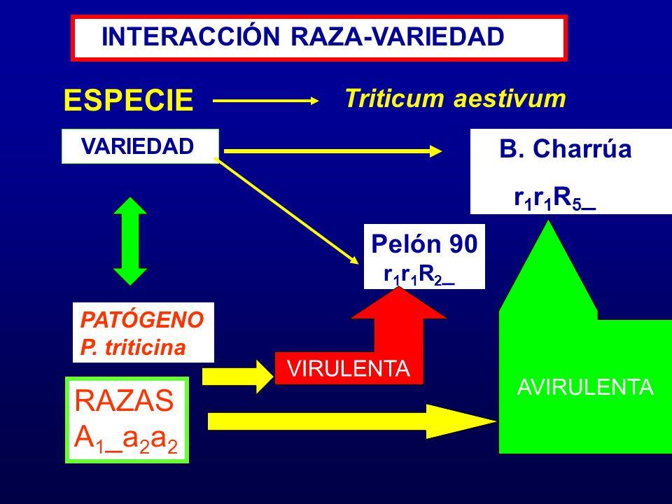 ESPECIE RAZAS A1_a2a2 INTERACCIÓN RAZA-VARIEDAD Triticum aestivum