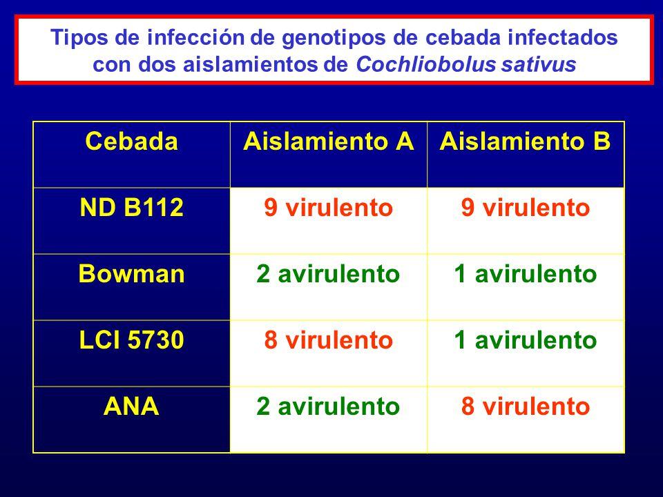 Cebada Aislamiento A Aislamiento B ND B112 9 virulento Bowman