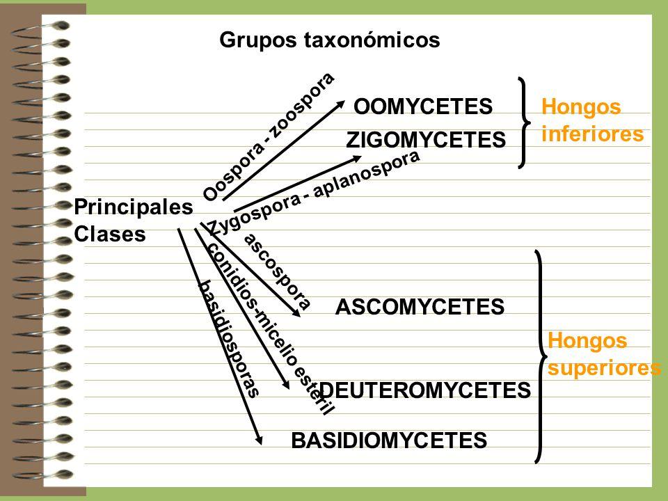 Grupos taxonómicos OOMYCETES Hongos inferiores ZIGOMYCETES Principales