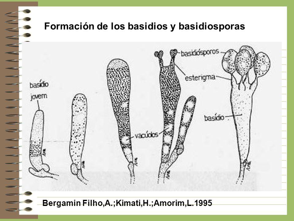 Formación de los basidios y basidiosporas