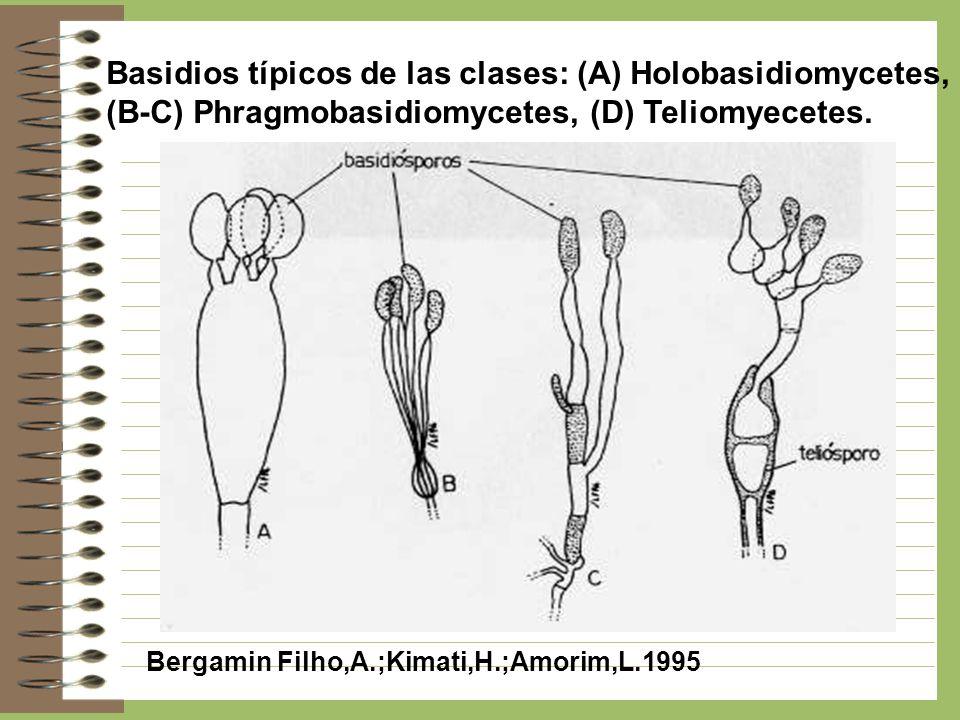 Basidios típicos de las clases: (A) Holobasidiomycetes,