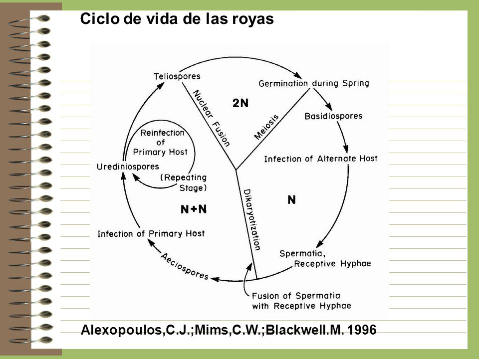 Ciclo de vida de las royas