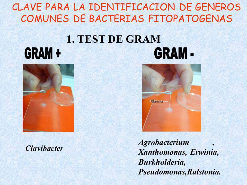 CLAVE PARA LA IDENTIFICACION DE GENEROS COMUNES DE BACTERIAS FITOPATOGENAS