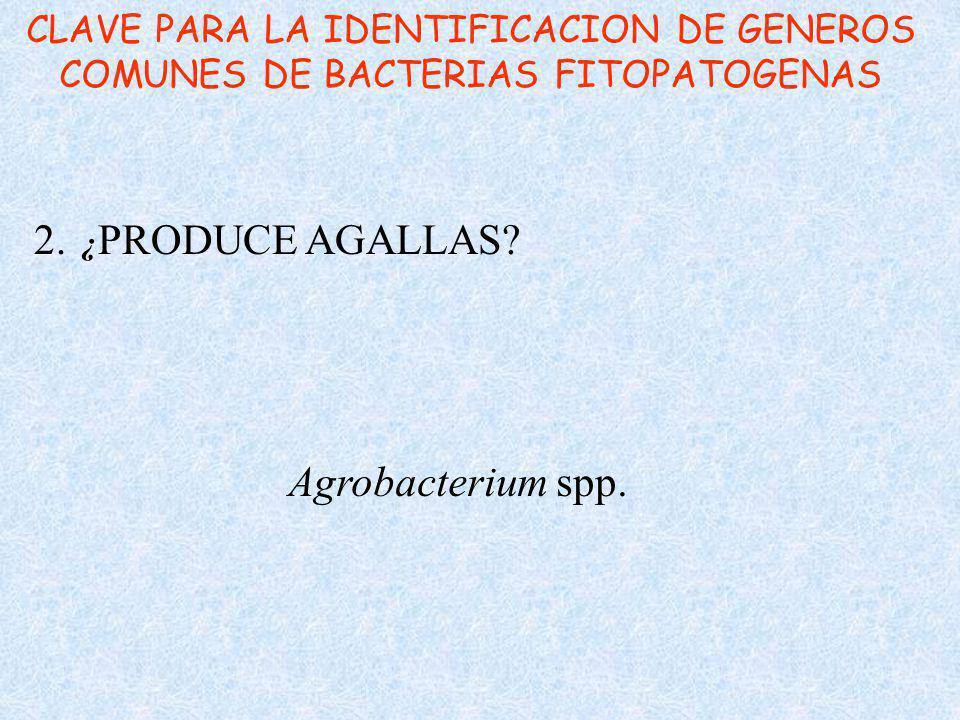 2. ¿PRODUCE AGALLAS Agrobacterium spp.