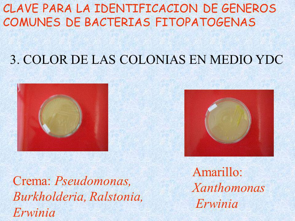 3. COLOR DE LAS COLONIAS EN MEDIO YDC