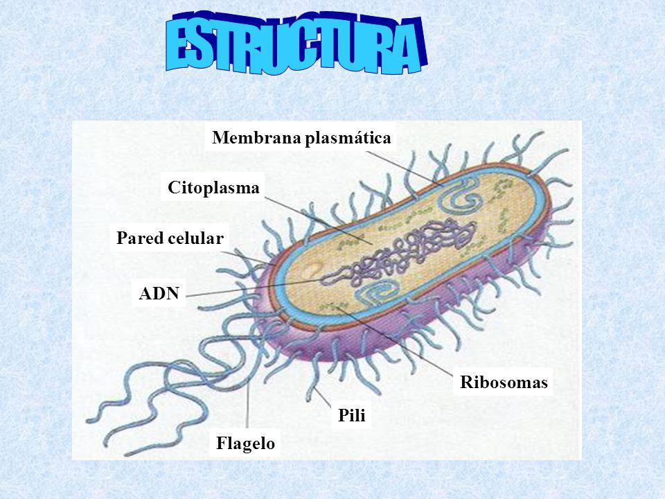 ESTRUCTURA Membrana plasmática Citoplasma Pared celular ADN Ribosomas