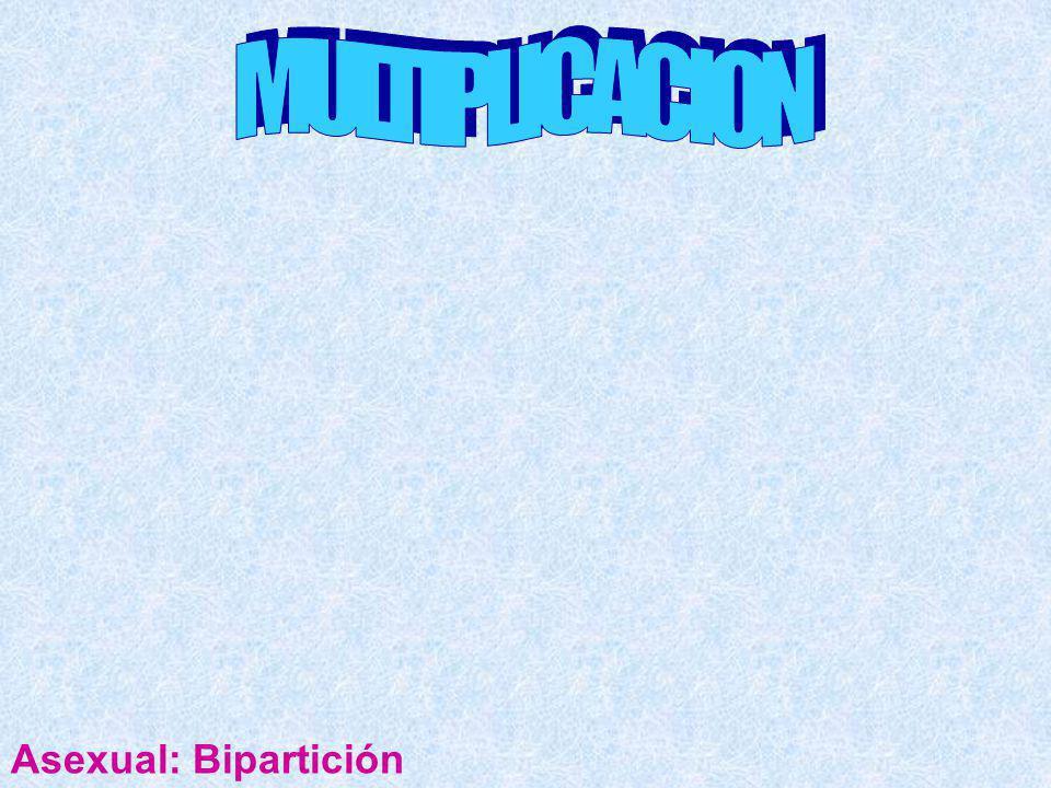 MULTIPLICACION Asexual: Bipartición