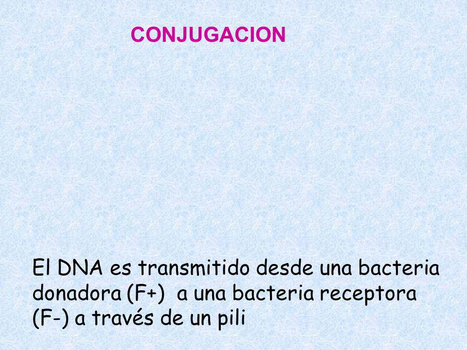 CONJUGACION El DNA es transmitido desde una bacteria donadora (F+) a una bacteria receptora (F-) a través de un pili.