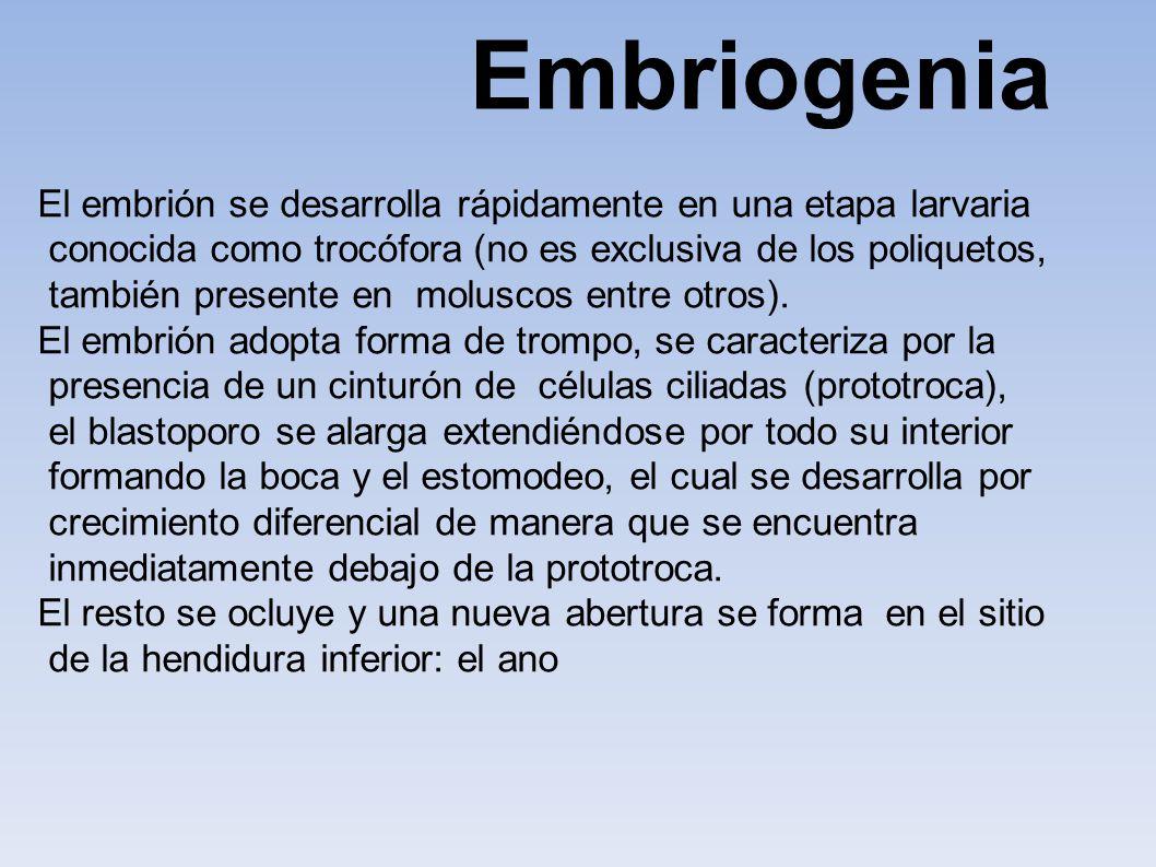 Embriogenia El embrión se desarrolla rápidamente en una etapa larvaria