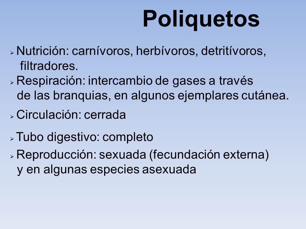 Poliquetos Nutrición: carnívoros, herbívoros, detritívoros,
