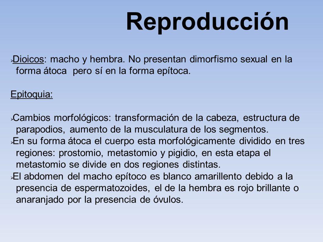 Reproducción Dioicos: macho y hembra. No presentan dimorfismo sexual en la. forma átoca pero sí en la forma epítoca.