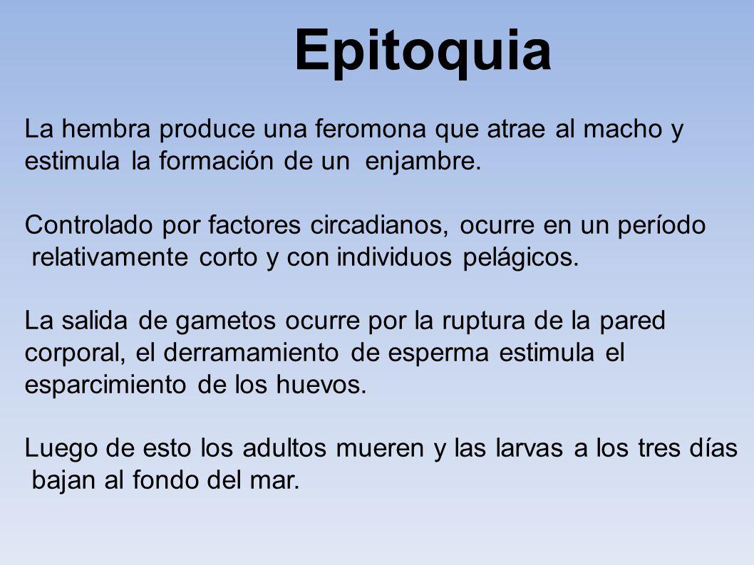 Epitoquia La hembra produce una feromona que atrae al macho y