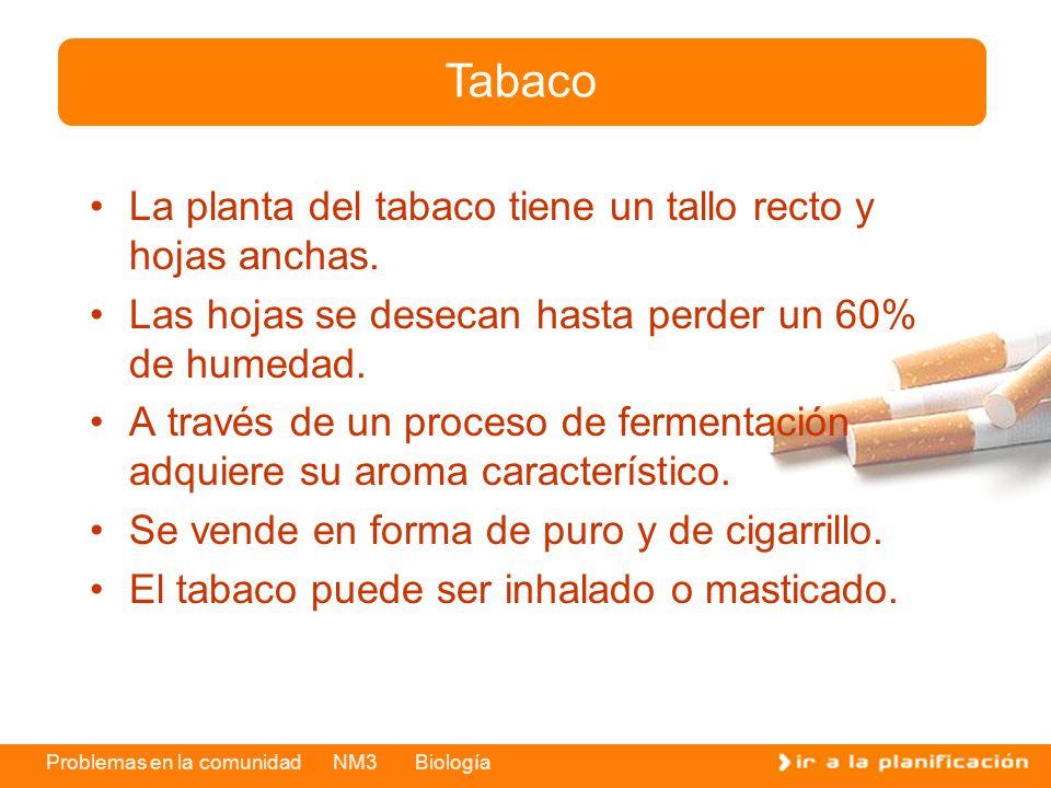 Tabaco La planta del tabaco tiene un tallo recto y hojas anchas.