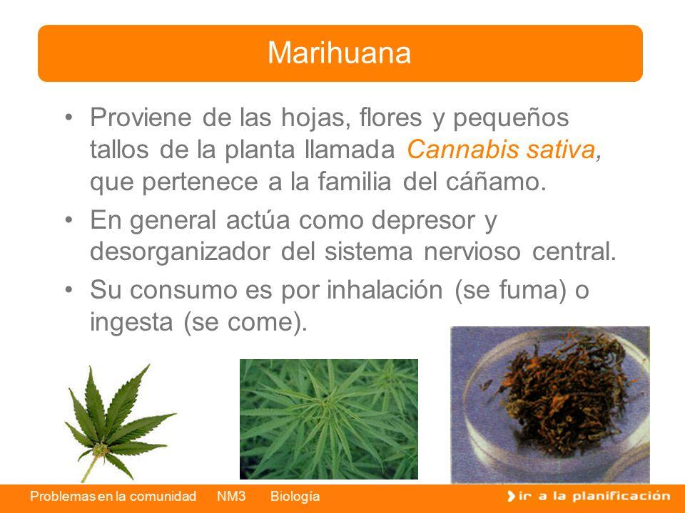 Marihuana Proviene de las hojas, flores y pequeños tallos de la planta llamada Cannabis sativa, que pertenece a la familia del cáñamo.