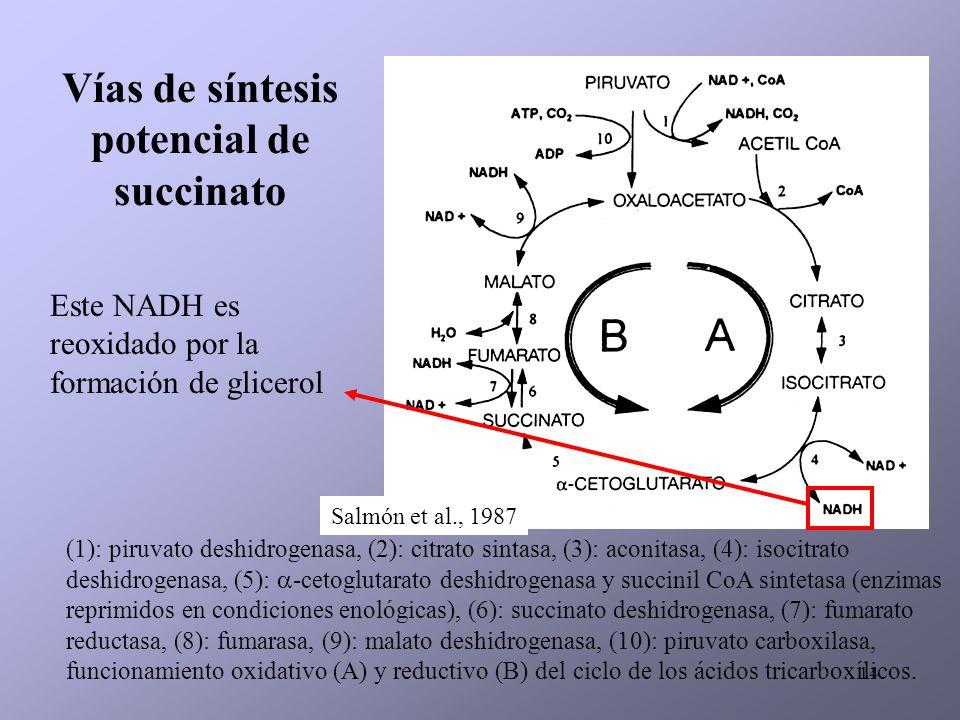 Vías de síntesis potencial de succinato