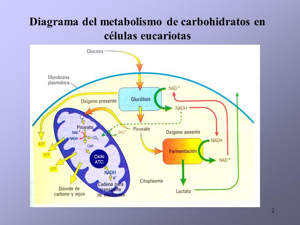 Diagrama del metabolismo de carbohidratos en células eucariotas
