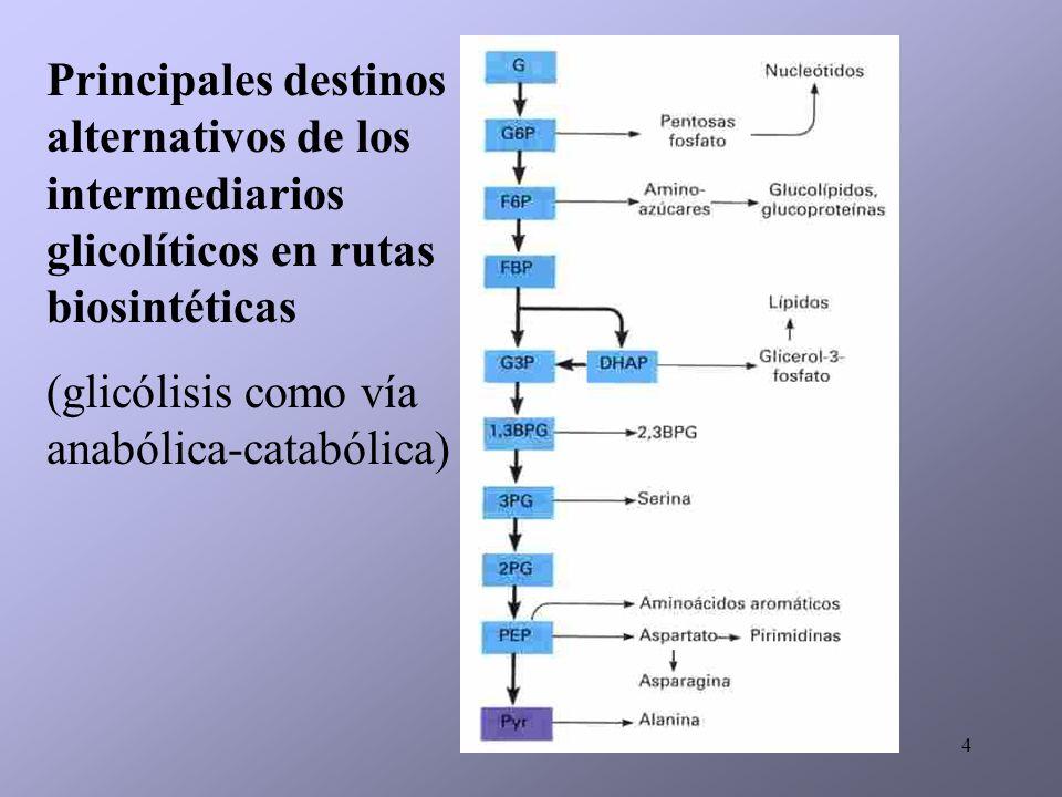 Principales destinos alternativos de los intermediarios glicolíticos en rutas biosintéticas