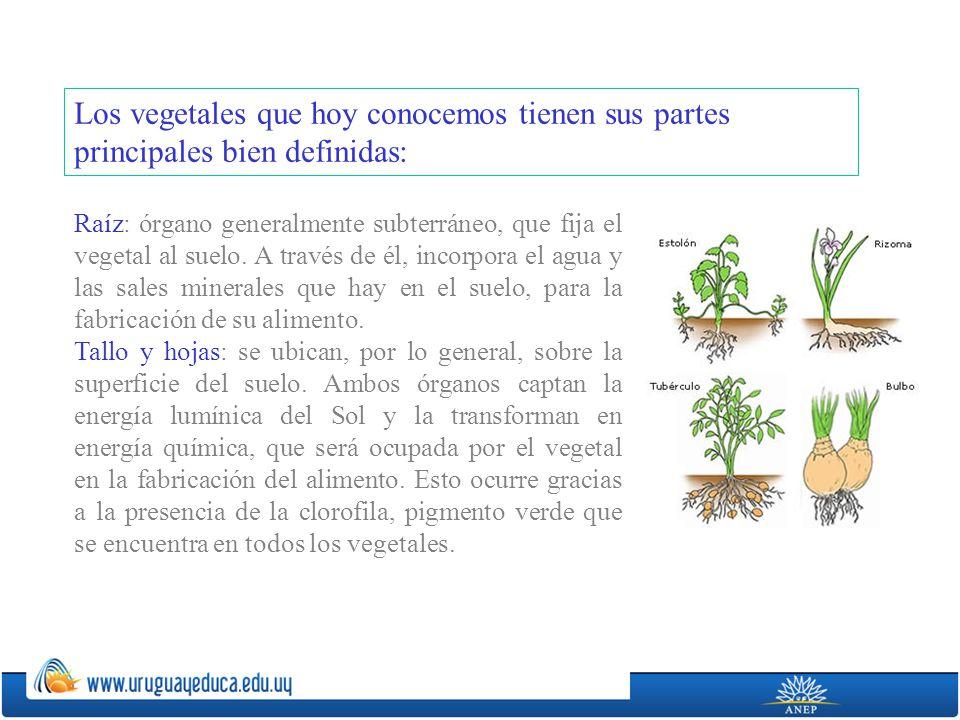 Los vegetales que hoy conocemos tienen sus partes principales bien definidas: