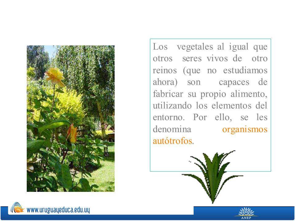 Los vegetales al igual que otros seres vivos de otro reinos (que no estudiamos ahora) son capaces de fabricar su propio alimento, utilizando los elementos del entorno.