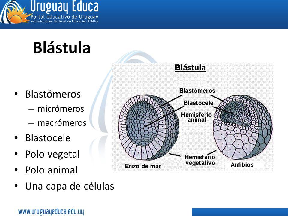 Blástula Blastómeros Blastocele Polo vegetal Polo animal