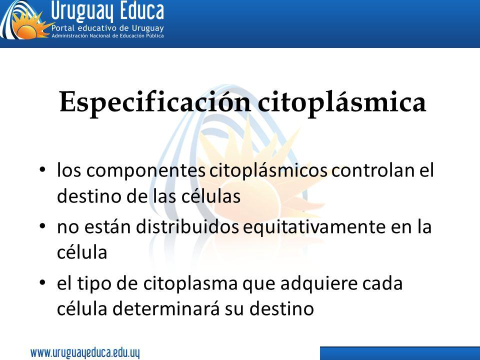 Especificación citoplásmica