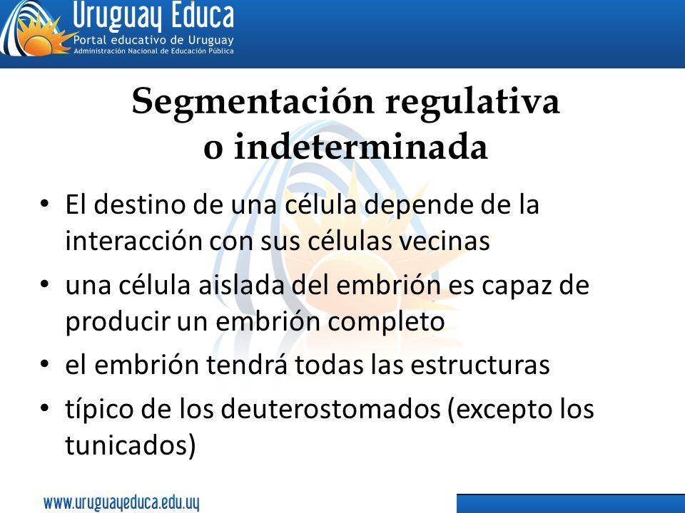 Segmentación regulativa o indeterminada